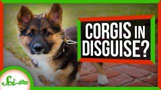 Why Do Corgi Mixes Always Look Like Corgis? by  SciShow