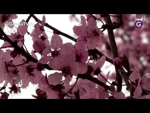 Prunus Pisardi , el ciruelo rojo o de jardín GuadaTV