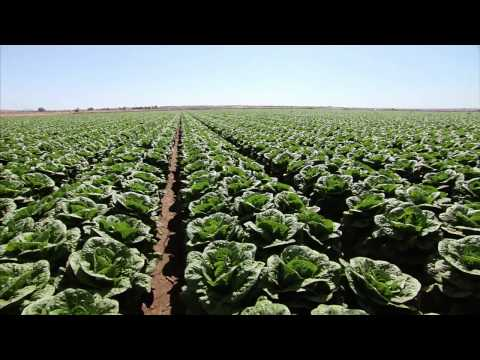 lettuce - Set the table for a story on the lettuce you enjoy at home. Southwest Arizona has long been known as
