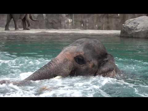 Cheeky Elephant Shows Off Her Swimming Skills