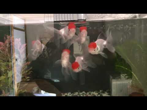 金魚  (丹頂)
