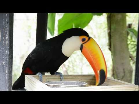 Toucan Takes a Drink