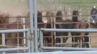 Pauls Valley (OK) United States  City pictures : Rounding up Mustangs at Pauls Valley Oklahoma