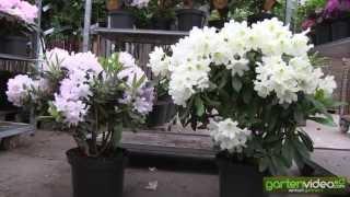 rhododendron hybride 39 erato 39. Black Bedroom Furniture Sets. Home Design Ideas