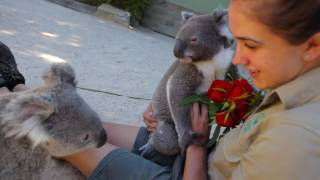 Koalas take Valentine's Day to the next level