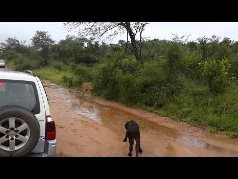 Kis bivalyra támad egy oroszlán