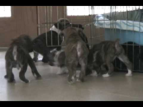 Boxerpuppies Youtube on Old Boxer Puppies Having A Fun Time Romping In The House  The Puppies