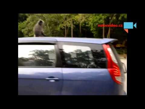 Malajsie/Borneo - tady jsou opice opravdu, ale opravdu vsude :-D