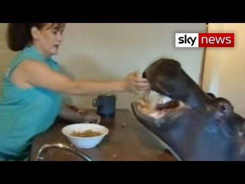 hippo - Sky News report on a South African family who have a hippo living in their house as a pet.