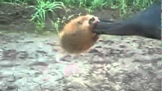 Chomik, który nadaje się do pilnowania podwórka :D