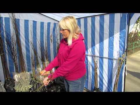 Виставка-ярмарок саджанців у Чернівцях: як правильно садити троянди