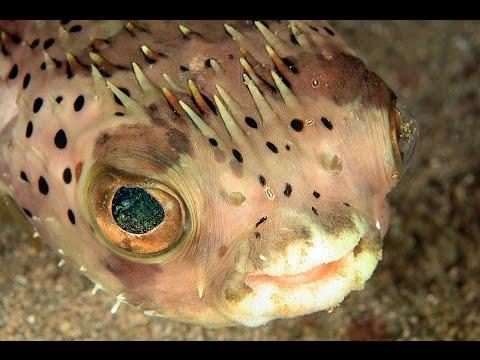 Иглобрюх, или рыба Фугу