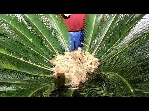 sago - http://www.billybobeatstexas.com/ ... supports this Sago Video. Watch and learn as I show you everything you need to know about harvesting King Sago Seeds. S...