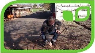 #579 Wie schneide ich Brombeeren am Spalier