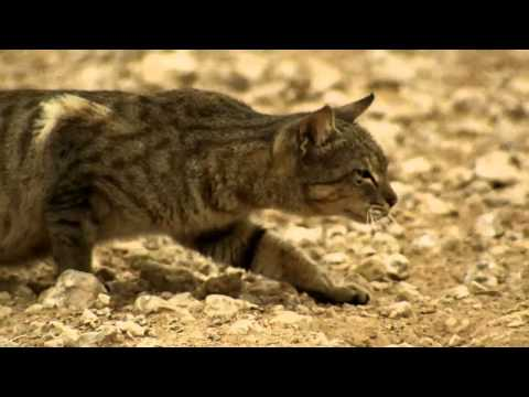 A feral cat hunts birds