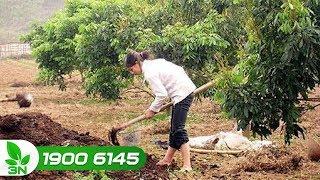 Trồng trọt | Kỹ thuật bón phân cho cây nhãn đúng quy trình