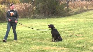 Molly the Lab Training With Suburban K9