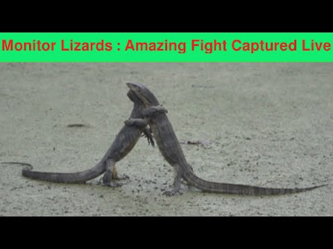 Two Lizards Fight It Out In The Middle Of A Road