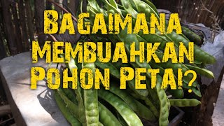 Video Memanen Buah Petai / Pete MP3, 3GP, MP4, WEBM, AVI, FLV November 2018