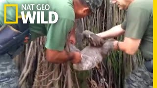 Sloth Saved from Train Track and Released to Brazilian Rainforest | Nat Geo Wild by Nat Geo WILD
