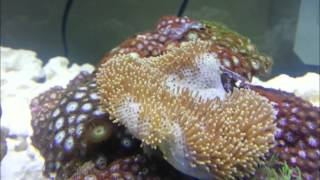Toadstool Mushroom Leather Coral in time lapse 24X SPEED