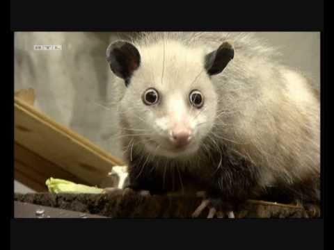 「[動物]目がギョギョギョっとした寄り目のフクロネズミはキュート?!」のイメージ