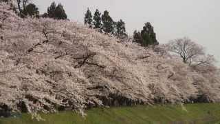 【HD】秋田県 桧木内川堤のソメイヨシノ – がんばれ東北!