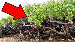 Video If You Ever See This Tree, Run Fast And Yell For Help! MP3, 3GP, MP4, WEBM, AVI, FLV Agustus 2018