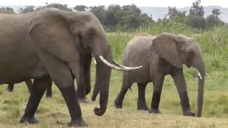 An elegant elephant herd move slowly across the grassland of the Masai Mara, Kenya. African Safari footage from @SafaricamUK. See more on theSafaricam channel, including Leopard hunt and more!