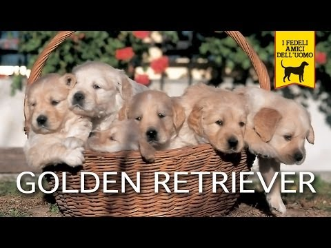 golden retriever trailer documentario