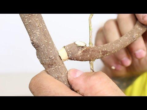 Cómo cambiar una rama madura de sitio en bonsai SI NO TIENE RA�CES