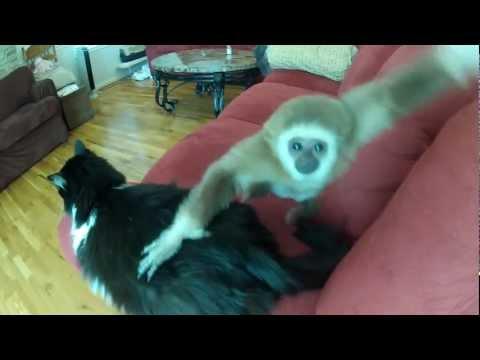 Süßes Gibbon will Katze fressen xD