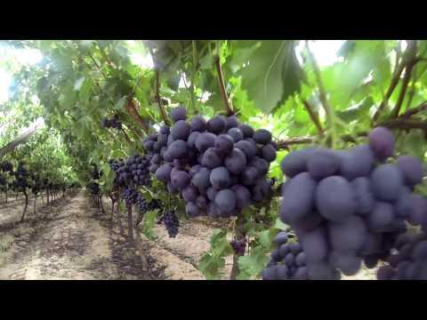 Grapevine Soil Fertilization Series | BUD BREAK | part 4
