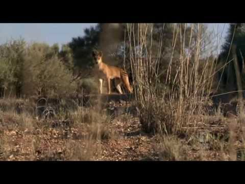 wild - As aired on ABC 8/12/2013. The dingo, Australia's native dog, is a lightning rod of public opinion: hated, feared, respected and loved. Farmer and dog traine...