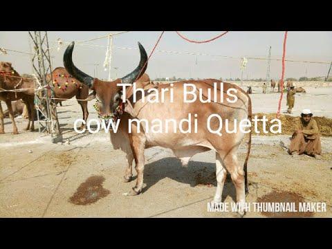 Video Cow mandi Quetta thari bull download in MP3, 3GP, MP4, WEBM, AVI, FLV January 2017