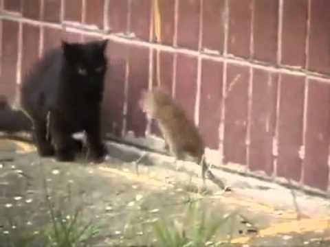 قمة الشجاعة فأر يهاجم مجموعة قطط