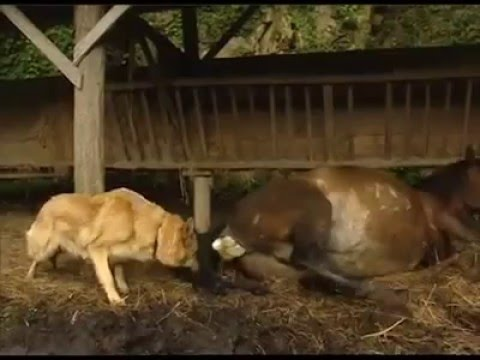 Video A horse giving birth download in MP3, 3GP, MP4, WEBM, AVI, FLV January 2017