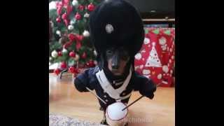 Best Vine Video Compilation by Crusoe Celebrity Dachshund