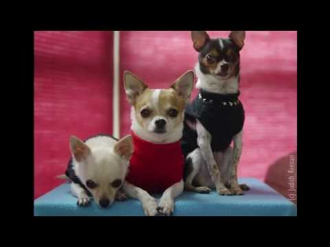 Cute Funny Chihuahua Dogs – Rescued, Fostered, Adopted & Living Large!