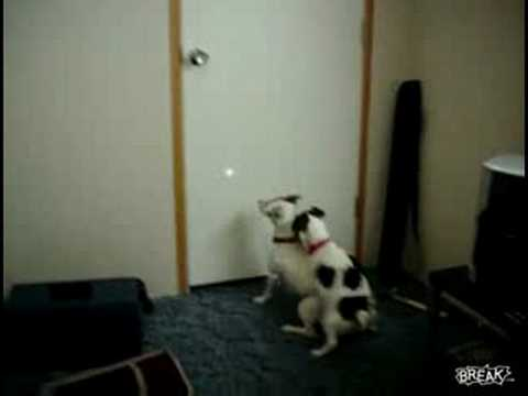 Little Dog Takes Break From Chasing Laser