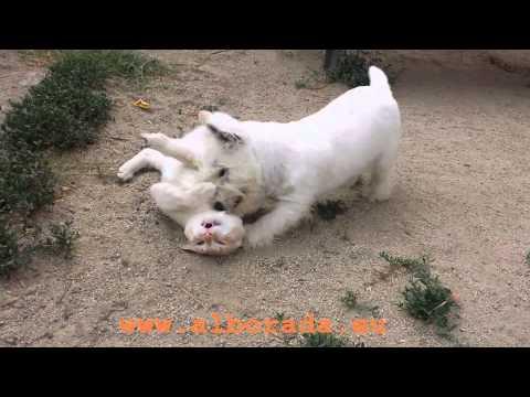Cachorro de West Highland White Terrier jugando con un gato