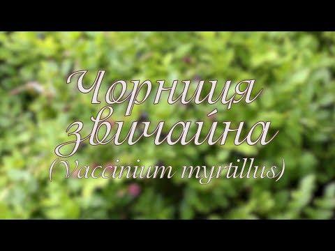 Библиотека: Чорниця звичайна. Vaccinium myrtillus