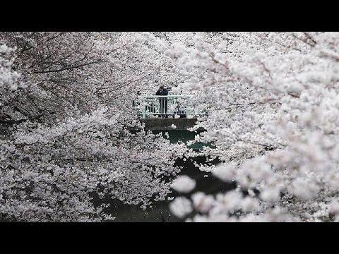 Random: Notizie dall'Italia e dal Mondo. La fioritura dei ciliegi in Giappone.