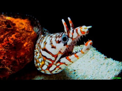 Леопардовая мурена - Leopard moray eel