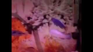 Ciklet Balığı Çeşitleri