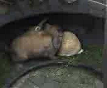 konijnen vrijen