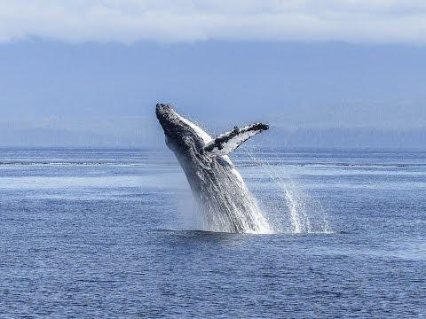 أعماق العلوم ح(6) - الحوت الأحدب