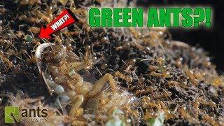 GREEN ANTS?!