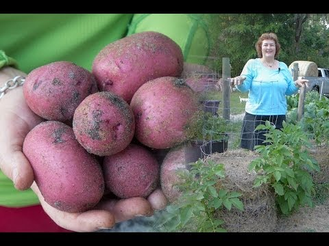 How to make a potato tower. Becky's best way to grow potatoes.