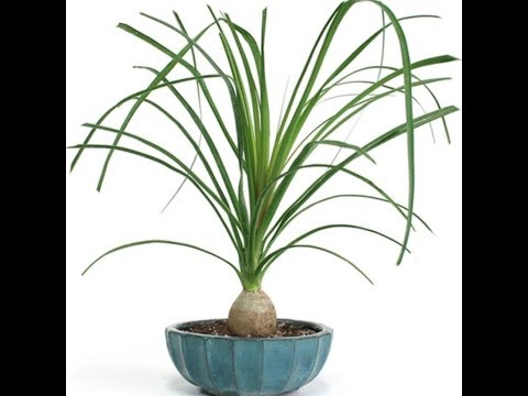 Care and repotting of ponytail palm (Beaucarnea Recurvata).